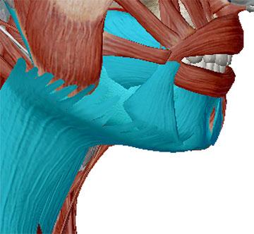 Halsmuskeln und Kinnmuskeln