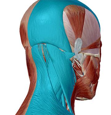 Nackenmuskeln